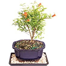 Fukien Tea Bonsai Tree 12 Year-Old Green Foliage with 13 in Tray and Deco Rock
